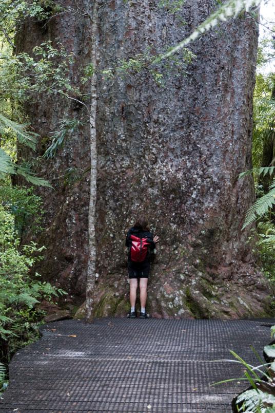 Kauri im Waipoua Forest, Nordinsel Neuseeland