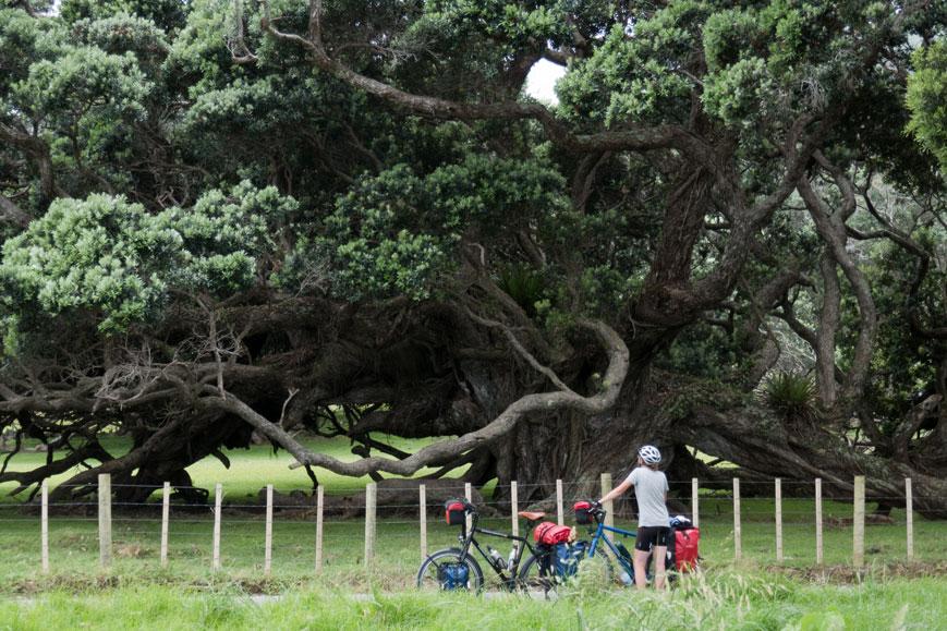 Pohutukavabäume auf der Coromandel-Halbinsel, Nordinsel Neuseeland