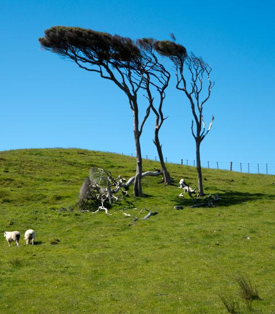 Sturmgebeugte Bäume beim Wharariki Beach, Neuseeland Südinsel