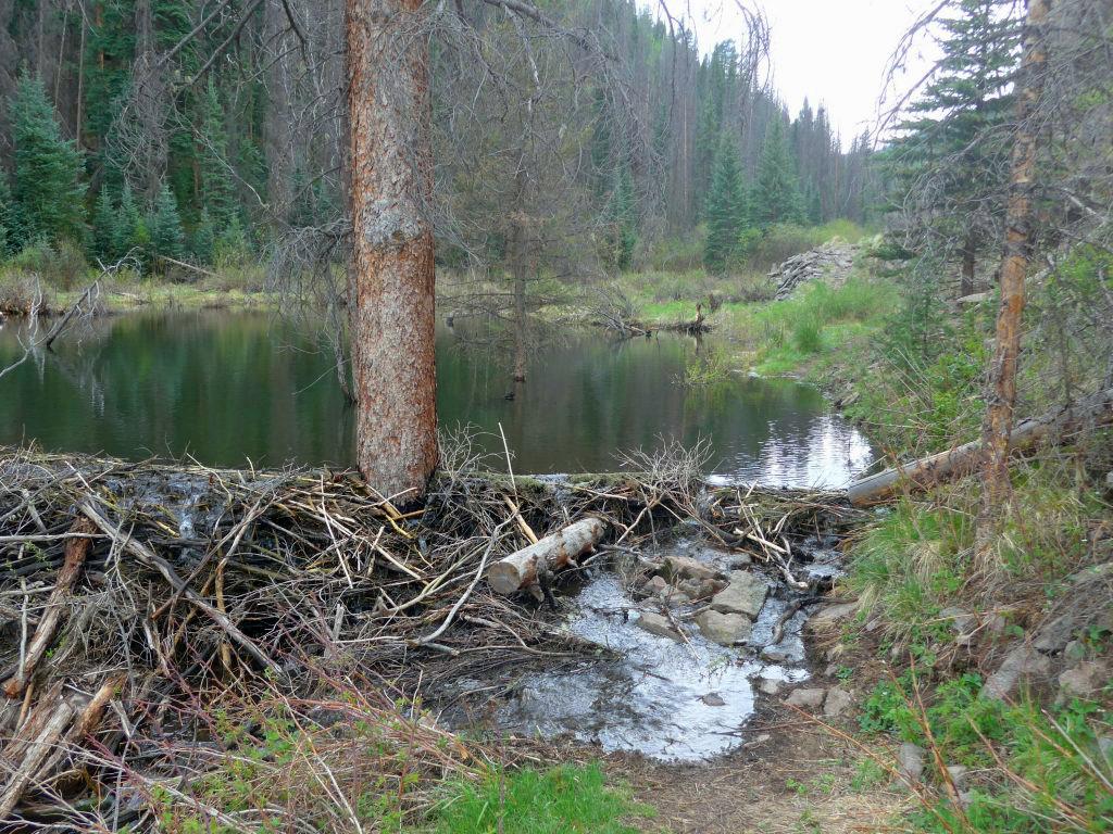 Biberdämme mitten auf dem Trail