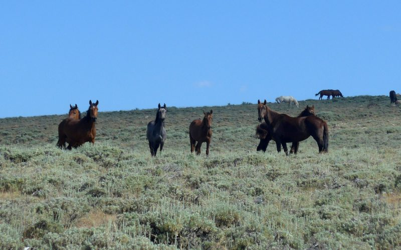 Wildpferde im Great Basin